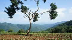 Incredible tree with surrounding cabbage crop